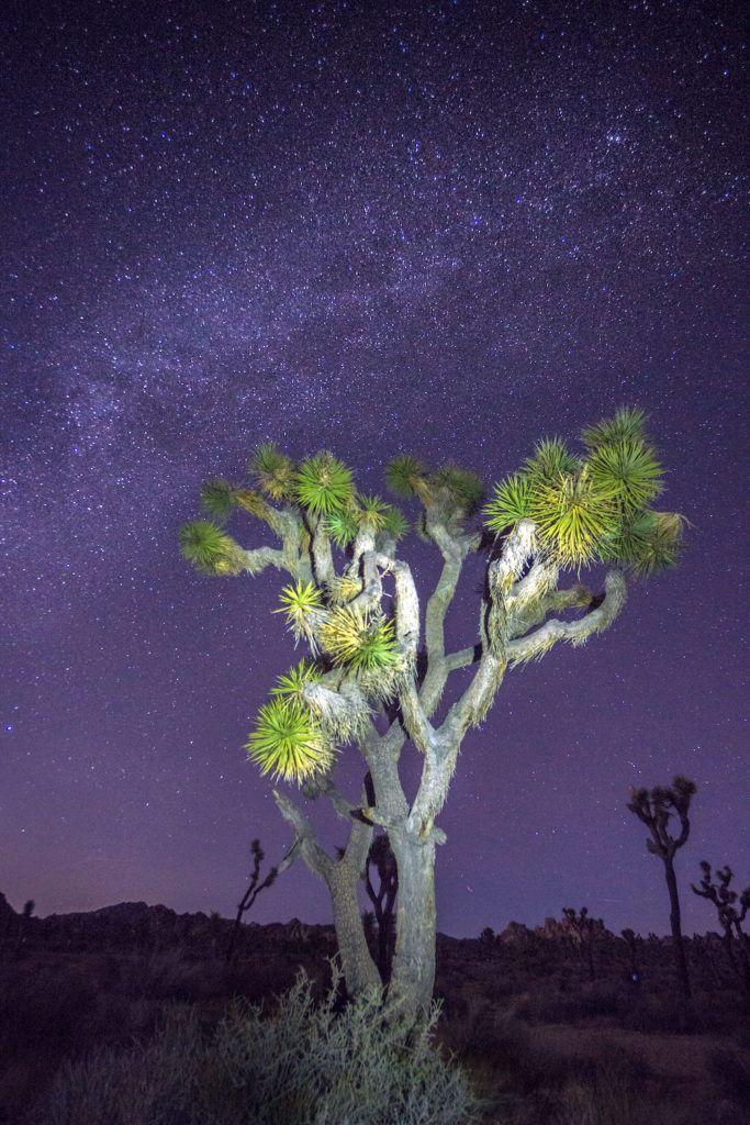 деревья Джошуа