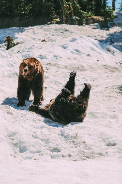 Обнаружение медведей гризли на горе Тетерев ... В Ванкувере, Канада (28)