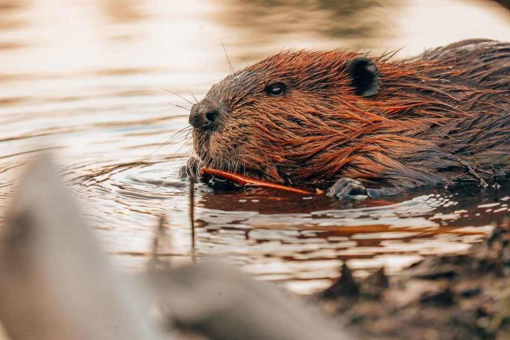 Затеряться в природе (и With Beavers) В Квебеке, Канада (29)