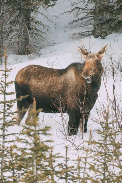 Поиск диких лосей и катание на лыжах в солнечной деревне ... в Банфе, Канада (7)