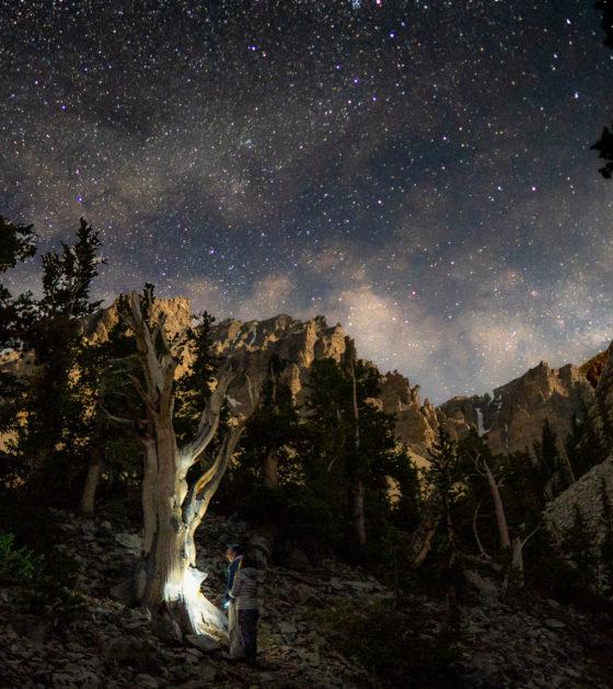 национальный парк Грейт-Бэйсин сосна