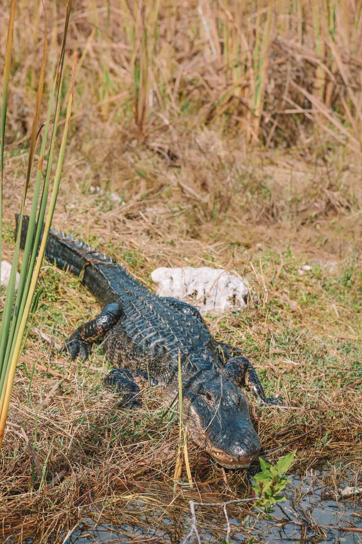 В поисках диких аллигаторов во Флориде (17)