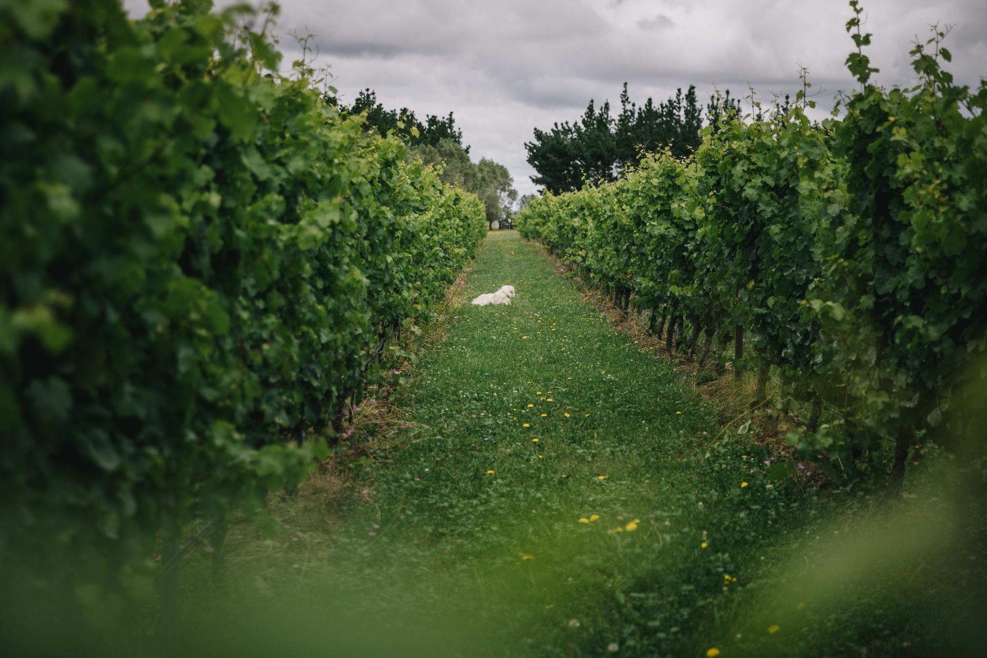 виноградники из северного кентербери