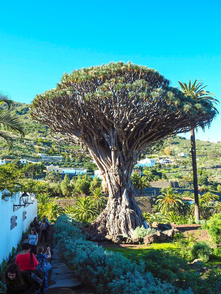Знаменитое драконово дерево в Икод-де-лос-Винос-Тенерифе