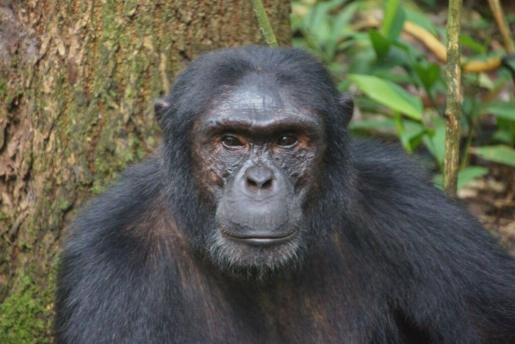Гориллы в Уганде, Африка