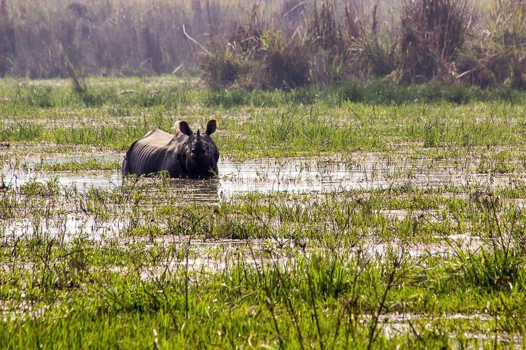 Носорог в национальном парке Читван, Непал