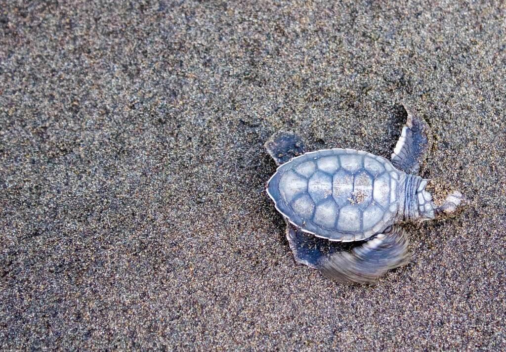 Маленькая черепаха на пляже Tortuguero