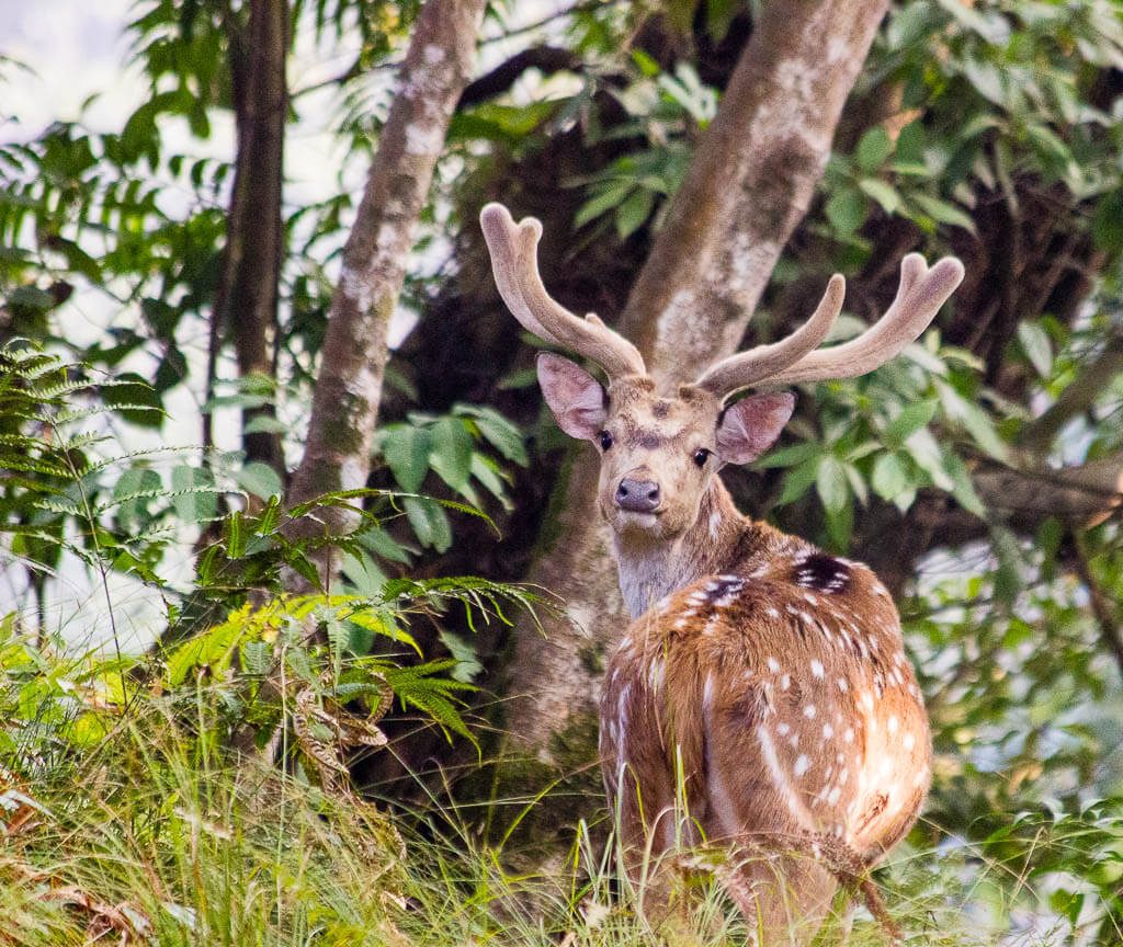 Дикий олень на курорте Гокарна, Катманду
