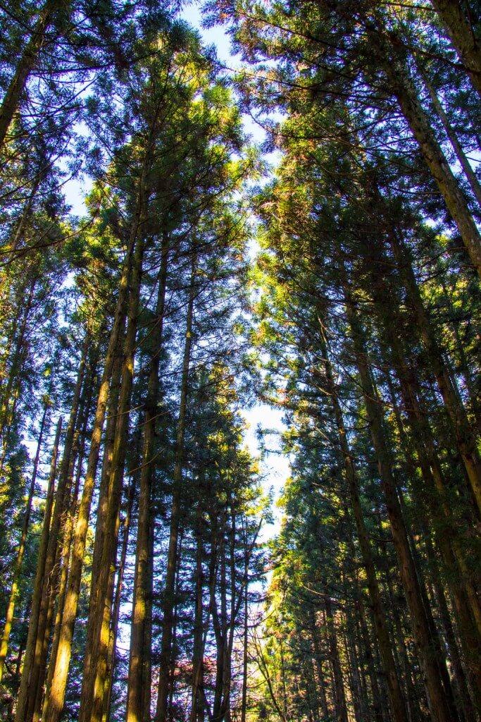 Кедровый лес на тропе Накасендо