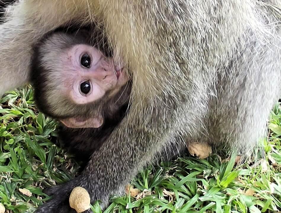 Волонтер в Южной Африке с Фондом Vervet Monkey Foundation