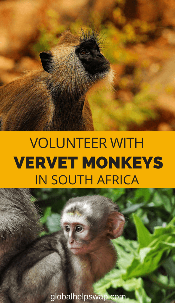 Волонтерство с Vervet Monkeys в Южной Африке