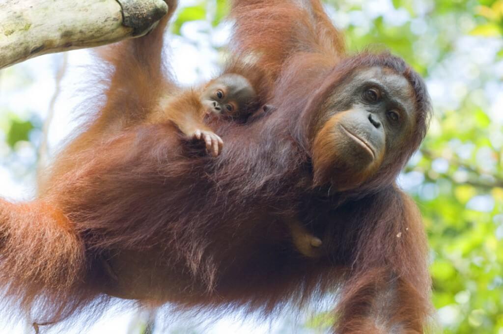Орангутаны на дереве