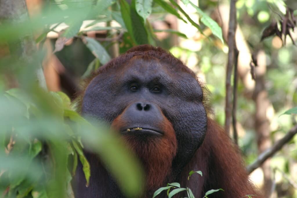 Взрослый орангутанг