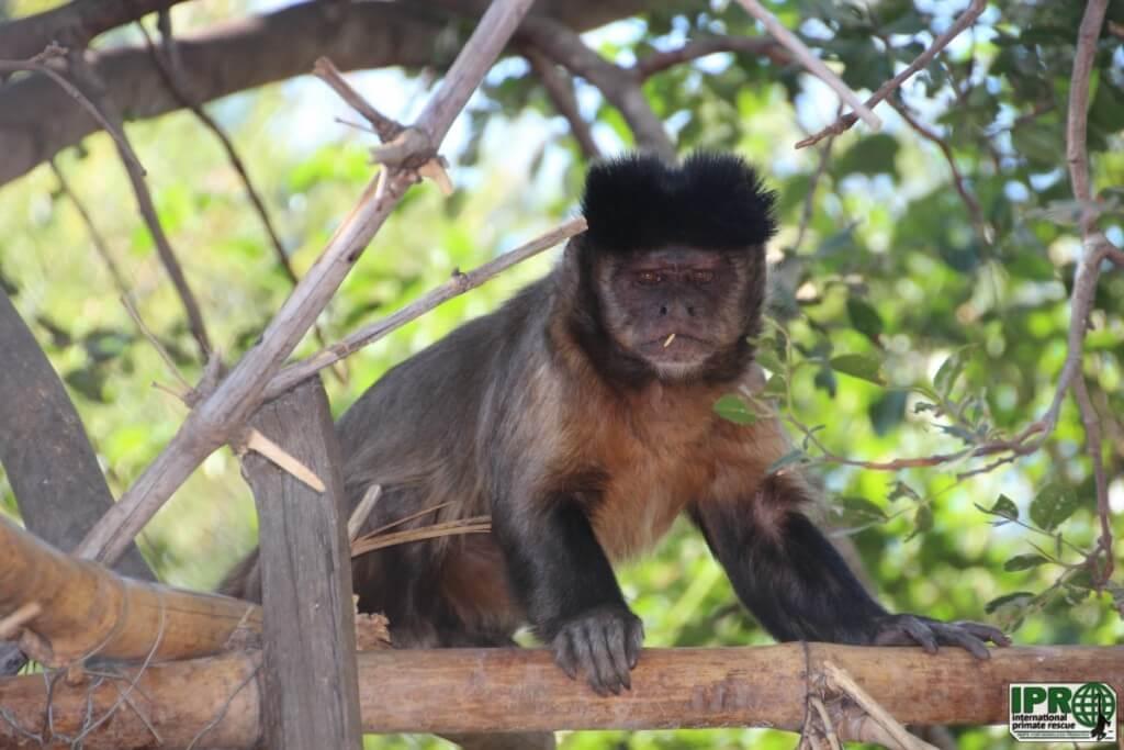 Доброволец с обезьянами