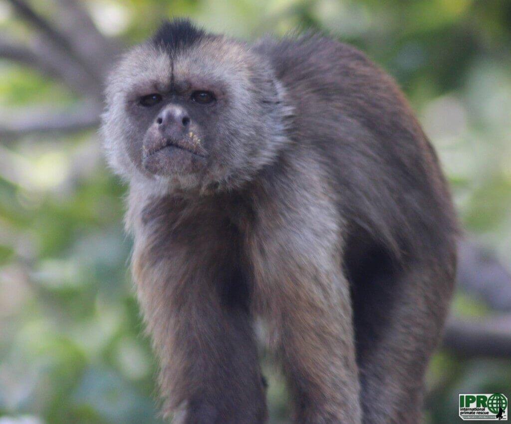 Волонтер с обезьянами