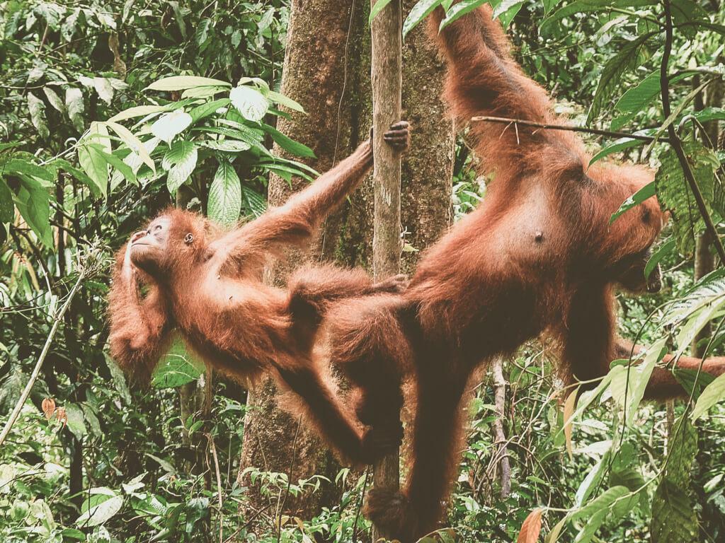 Наблюдение за орангутангами на Суматре, Индонезия
