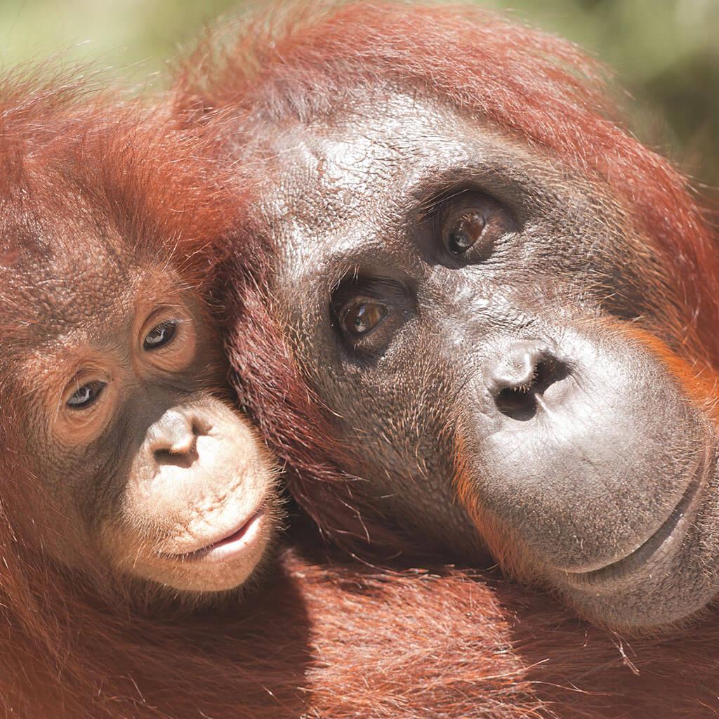 Мать и детеныш орангутанга