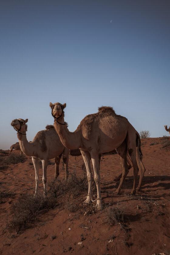 Верблюды в Аравийской пустыне.