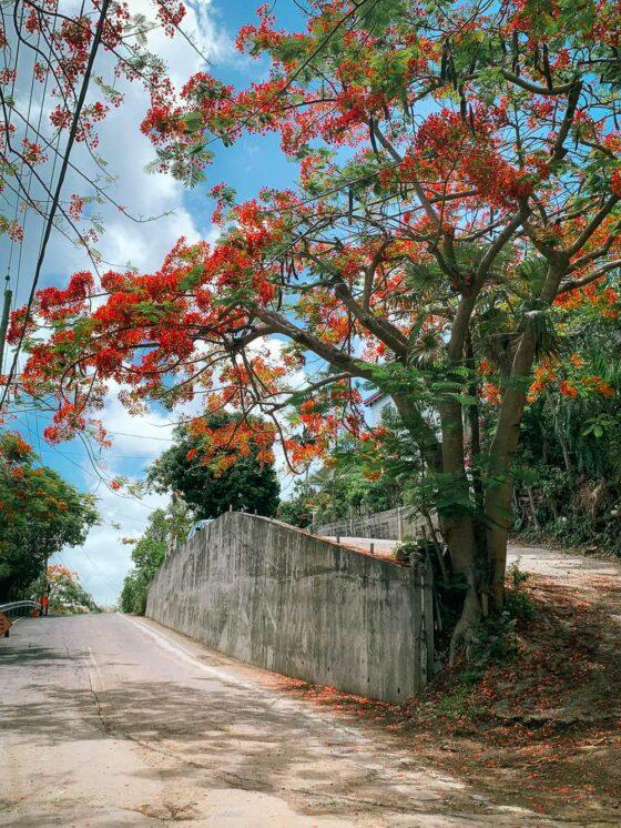 Яркие деревья цветут летом на острове Сент-Томас, USVI