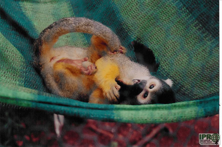 Волонтер с обезьянами в Международном заповеднике спасения приматов